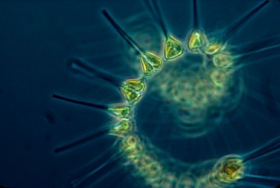 Phytoplankton_-_the_foundation_of_the_oceanic_food_chain-586x394