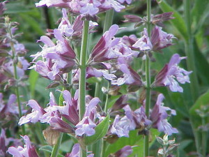 FIORE-UTILE-Salvia_officinalis0-300x225